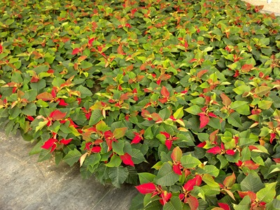 11-02-12-poinsettias-1