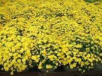12in-mum-yellow-9-12-14_thumb.jpg