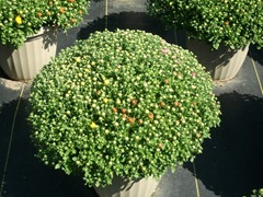 12in tricolor mums 1 9-5-14