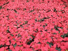 2010-poinsettias77