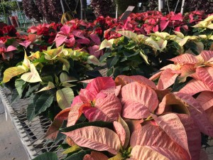 6in poinsettias garden center