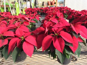 6in red poinsettia garden center