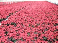6in red poinsettias 1 11-20-14