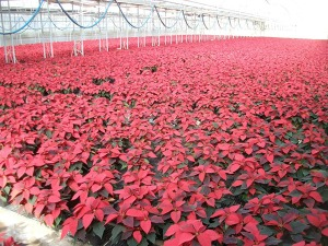 6in-red-poinsettias-2-11-20-14
