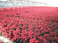 6in red poinsettias 2 11-20-14