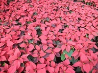 6in red poinsettias 4 11-20-14
