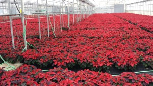 6in red poinsettias greenhouse 11.11.15 2