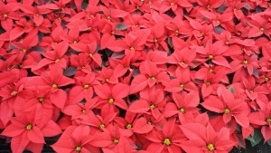 6in red poinsettias greenhouse 11.25.15 1