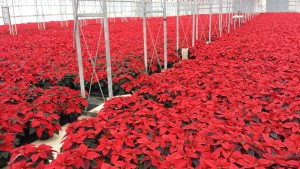 6in red poinsettias greenhouse 11.25.15 2