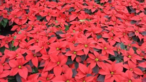 6in red poinsettias greenhouse 11.25.15 3