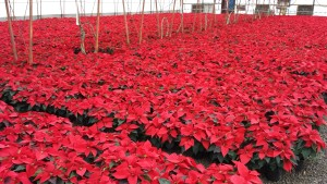 6in red poinsettias greenhouse 11.25.15 4