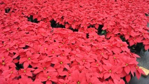 6in red poinsettias greenhouse 11.25.15 5