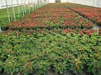 Poinsettias 10-31-14