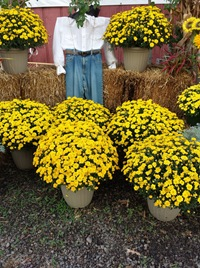 fall 12in mum display 1