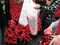 packing-poinsettias-328