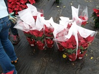 packing-poinsettias-329