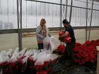 packing-poinsettias-330