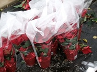 packing-poinsettias-333