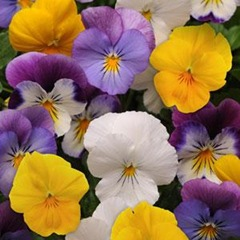 pansy-plentifall-mix