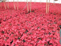 poinsetiia red-5
