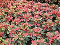 poinsettias-3