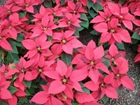 poinsettias-4