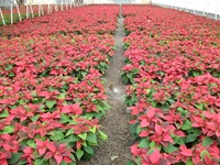 poinsettias-91